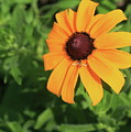 Black Eyed Susan 2 by Marjorie Imbeau