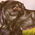 Black Lab In The Field by Susan A Becker