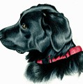 Black Lab With Red Collar by Heather Mitchell