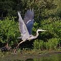 Blue Heron by Robert Pearson