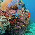 Blue Starfish On Coral Reef, Raja by Beverly Factor