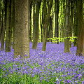 Bluebells by Jane Rix