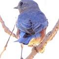 Bluebird On White Print by Robert Frederick