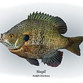 Bluegill by Ralph Martens