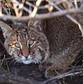 Bobcat by Bruce J Robinson