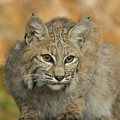 Bobcat Felis Rufus by Grambo Photography and Design Inc.