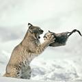 Bobcat Lynx Rufus Capturing Muskrat by Michael Quinton