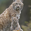 Bobcat Mother And Kitten North America by Tim Fitzharris