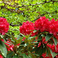 Botanical Garden Art Prints Red Rhodies Trees Baslee Troutman by Baslee Troutman