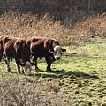 Bovine Pastures by B Rossitto