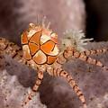 Boxer Crab On Sponge Lybia Tesselata by Tim Laman