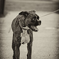 Boxer by Off The Beaten Path Photography - Andrew Alexander
