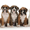 Boxer Puppies by Mark Taylor