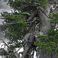 Bristlecone Pine Tree On The Rim Of Crater Lake - Oregon by Christine Till