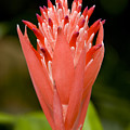 Bromeliad Flower, An Epiphyte From C & by Tim Laman