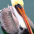 Brown Pelican . 7d8291 by Wingsdomain Art and Photography