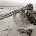 Brown Pelican Folly Beach Morris Island Lighthouse Close Up by Dustin K Ryan