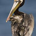 Brown Pelican Preening La Jolla by Sebastian Kennerknecht