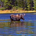 Bull Moose In The Mountains by Terril Heilman