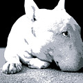 Bull Terrier White On Black by Michael Tompsett