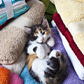 Calico Kitten On Towels by Garry Gay