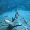 California Sea Lions At Play,  Zalophus by James Forte