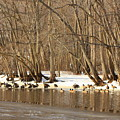 Canada Geese On Concord River by John Burk