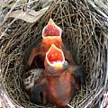 Cavernous Cardinals by Al Powell Photography USA