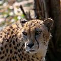 Cheetah Gazing by Douglas Barnett