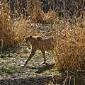 Cheetah  In The Brush by Douglas Barnett