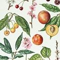 Cherries And Other Fruit-bearing Trees  by Elizabeth Rice