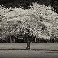 Cherry Blossom Tree - Ocean County Park by Angie Tirado
