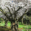 Cherry Blossom Tree by Pierre Leclerc Photography