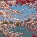 Cherry Blossoms On The Edge Of The Tidal Basin Three by Susan Isakson