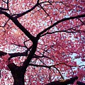 Cherry Tree by Mitch Cat