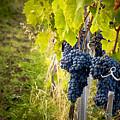 Chianti Grapes by Jim DeLillo