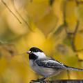 Chickadee On A Log by Tim Grams
