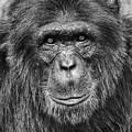 Chimpanzee Portrait 1 by Richard Matthews