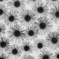 Chrysanthemum Flowers by Graeme Harris