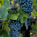 Close View Of Chianti Grapes Growing by Todd Gipstein