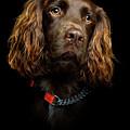 Cocker Spaniel Puppy by Andrew Davies