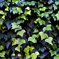 Common Ivy by Fabrizio Troiani