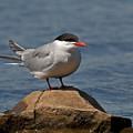 Common Tern... by Nina Stavlund