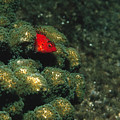 Coral Hawkfish Hiding In Coral by James Forte