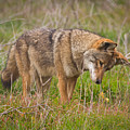 Coyote by Carl Jackson