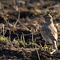 Crested Lark by Cliff  Norton