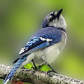 Curious Blue Jay by Inspired Nature Photography Fine Art Photography
