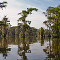 Cypress Trees And Spanish Moss In Lake Martin by Louise Heusinkveld