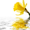 Daffodil Reflected by Jane Rix
