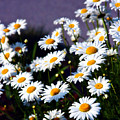Daisies by Lana Trussell